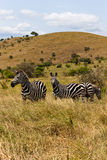 Zebras etíopes no savana imagem de stock