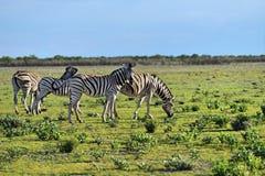 Zebras in Etosha, Namibia, Africa Stock Image