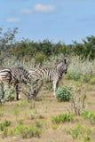 Zebras in Etosha, Namibia Royalty Free Stock Images
