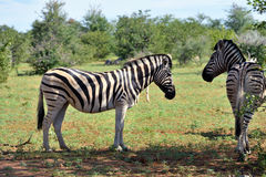 Zebras in Etosha, Namibia Royalty Free Stock Photo