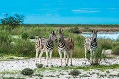 Zebras in etosha nationaal park, Namibië Stock Afbeelding