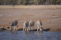 Zebras in Etosha national park Stock Photo