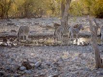 Zebras. In the Etosha National Park, Namibia Stock Photo