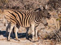 Zebras. In the Etosha National Park, Namibia Royalty Free Stock Image