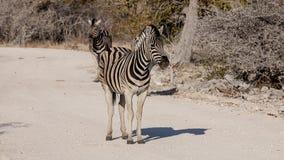 Zebras. In the Etosha National Park, Namibia Stock Image
