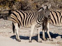 Zebras. In the Etosha National Park, Namibia Stock Images