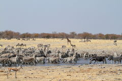 Zebras in the Etosha National Park in Namibia Royalty Free Stock Images