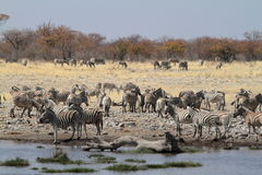 Zebras in the Etosha National Park in Namibia Stock Photography