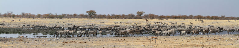 Zebras in the Etosha National Park in Namibia Stock Images
