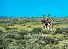 Zebras in Etosha national park, Namibia Stock Photos
