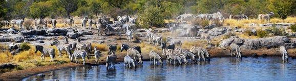 Zebras in Etosha National Park. Etosha National Park is a national park in northwestern Namibia Stock Images