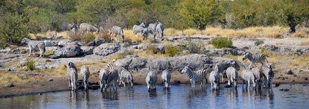 Zebras in Etosha National Park. Etosha National Park is a national park in northwestern Namibia Stock Image