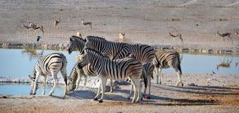 Zebras in Etosha National Park. Etosha National Park is a national park in northwestern Namibia Stock Photo