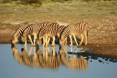 Zebras in Etosha NP, Namibië stock afbeeldingen