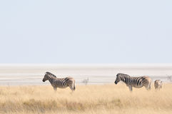 Zebras at Etosha Pan, Namibia Royalty Free Stock Photography