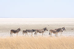 Zebras at Etosha Pan, Namibia. Zebras at the Etosha Pan in Etosha National Park, Namibia Royalty Free Stock Image
