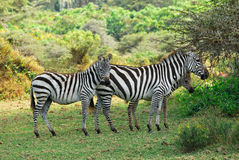 Zebras family with foals Royalty Free Stock Photos