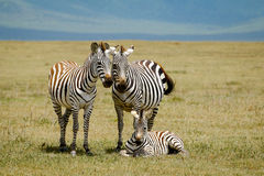 Zebras family Stock Photography