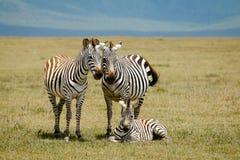 Zebras family Stock Photography