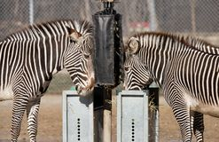 Zebras feeding at Brookfield Zoo Royalty Free Stock Photography