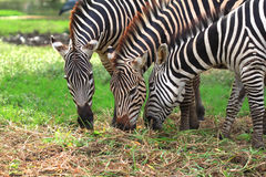 Zebras feeding on grass Stock Image