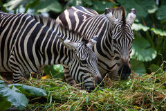 Zebras Feeding on Grass Stock Photo