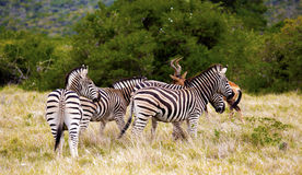 Zebras. Royalty Free Stock Image