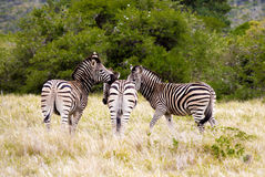 Zebras. Royalty Free Stock Photography