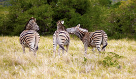 Zebras. Stock Photos