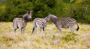 Zebras. Royalty Free Stock Photos