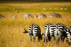 Zebras on Field Royalty Free Stock Images