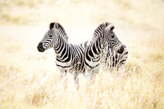 Zebras in field. Two zebras in field of tall dry grass stock photos