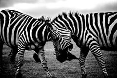 Zebras in field