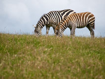 Zebras on a field. Two zebras take their evening walk over a green field Stock Image