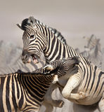 Zebras fighting Royalty Free Stock Image