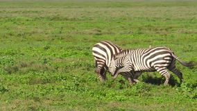 Zebras fighting in Ndutu. African male zebras fighting for domination in Ndutu Area of Ngorongoro of Tanzania in Africa. African common zebras or Equus quagga stock video