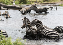 Zebras fighting in a river, Serengeti, Tanzania Royalty Free Stock Images