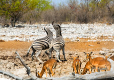 Zebras fighting at a waterhole with springbok in the foreground Royalty Free Stock Photos