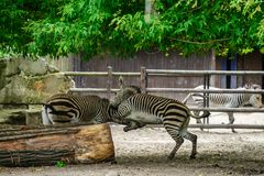Zebras fighting at the zoo stock images