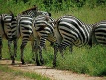 Zebras. Five zebras side by side walking off the path Stock Image