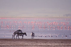 Zebras and flamingo in Ngorongoro Royalty Free Stock Images