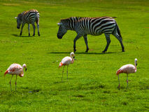 Zebras and Flamingos. Grazing Zebras and pink flamingos in a zoo Stock Photos