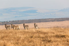 Zebras Four Alert Landscape Wildlife Stock Images