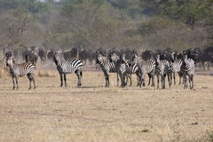 Zebras and wildebeests in the serengeti Royalty Free Stock Image