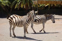 Zebras in Fuerteventura island zoo. Zebras couple in Oasis Park on Fuerteventura Canary island in Spain stock photos