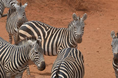 Zebras gather in the dust. Herd of Zebras gather in the dust Stock Photo