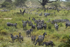 Zebras gathering in Spring. Tanzania Stock Photos