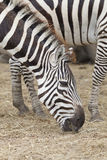Zebras gaze grass Royalty Free Stock Photos