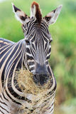 Zebras gaze grass in the open zoo Stock Photo