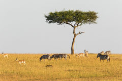 Zebras and gazelles at a lonely tree Stock Images